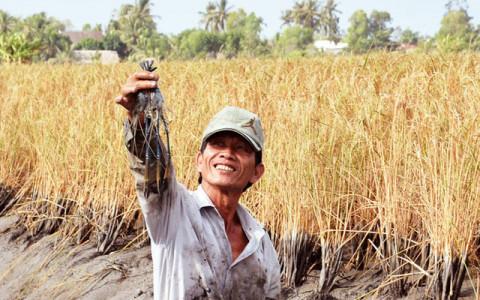 Luân canh tôm - lúa bền vững ở Kiên Giang