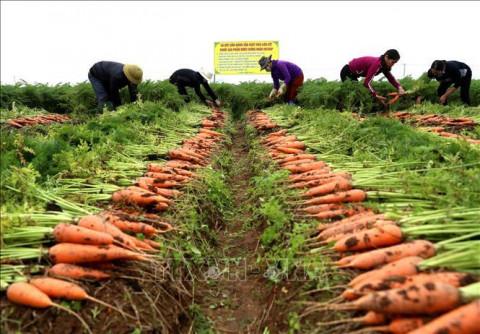 Từ ngày 4/3: Hàn Quốc nhập khẩu cà rốt của Hải Dương trở lại