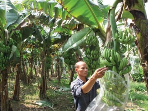 Chuối Việt Nam nhập khẩu vào các nước EU tăng mạnh