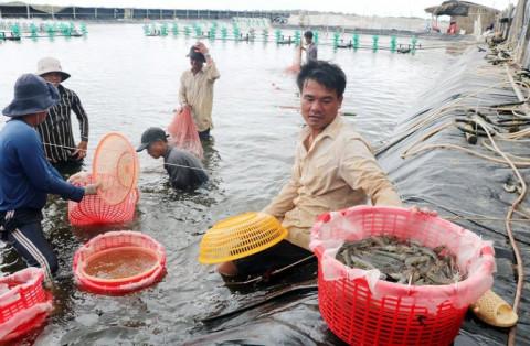 Bến Tre: Ứng dụng công nghệ cao nghề nuôi tôm biển
