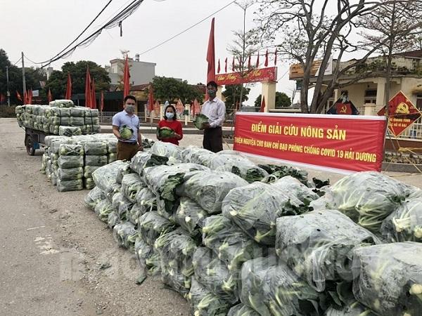 Hội Nông dân huyện Gia Lộc đã phối hợp hỗ trợ nông dân tiêu thụ 350 tấn cải bắp, 310 tấn su hào, 18 tấn cà chua, su lơ, ngô
