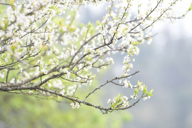 """Đến với cao nguyên Bắc Hà (Lào Cai) du khách như lạc vào """"thiên đường"""" bởi hàng nghìn hoa mận tinh khôi"""