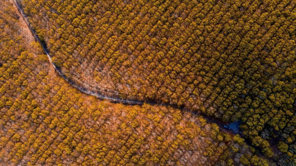 Trải nghiệm vẻ đẹp rừng cao-su mùa thay lá