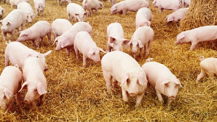 hành vi sử dụng chất cấm trong chăn nuôi có thể bị phạt đến 80 triệu đồng. Ảnh: Internet