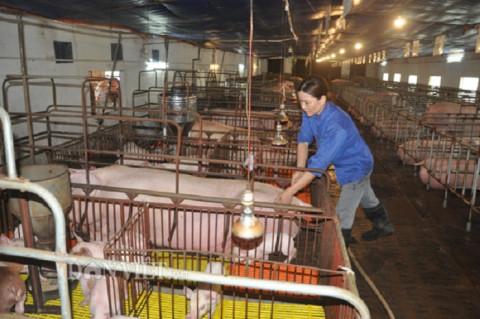 Hưng Yên phát triển mạnh mô hình chăn nuôi VietGahp đảm bảo an toàn dịch bệnh, vệ sinh thực phẩm và bảo vệ môi trường giai đoạn mới