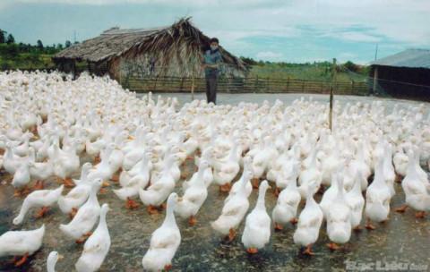 Đồng Tháp: Phát triển ngành chăn nuôi vịt thành một ngành sản xuất chiến lược của tỉnh, có quy mô lớn, tập trung, bền vững