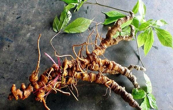 Kẻ gian thường dùng những loại củ, rễ có hình thứ na ná với Sâm Ngọc Linh để