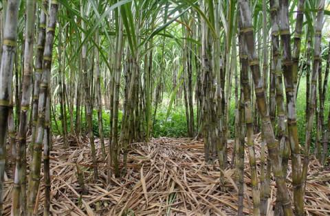 Giá mía xuống thấp, người nông dân Khánh Hòa loay hoay chuyển đổi cây trồng
