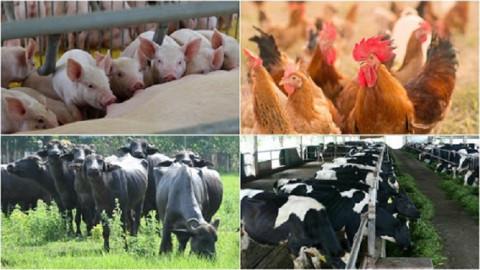 Định hướng phát triển chăn nuôi của Thành phố Hà Nội trong giai đoạn mới