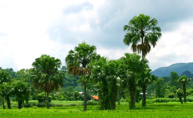 Không nên hủy hết các đồi Cọ để trồng rừng sản xuất