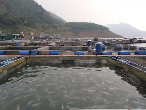 Tỉnh Hòa Bình phát triển nuôi trồng thủy sản lòng hồ hướng tới sản phẩm OCOP