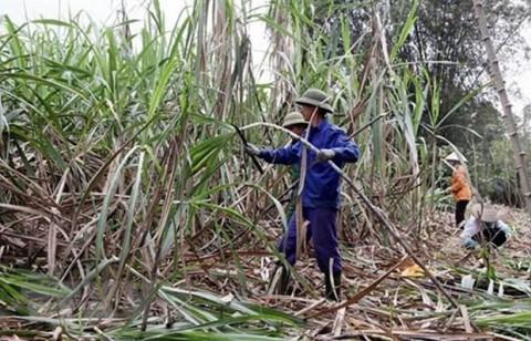 Trà Vinh: Giá mía tăng cao nhất trong 5 năm đem lại hiệu quả kinh tế cho người trồng