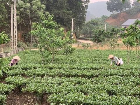 Yên Bái: Sản phẩm Chè xanh Hán Đà đưa người dân thoát nghèo bền vững
