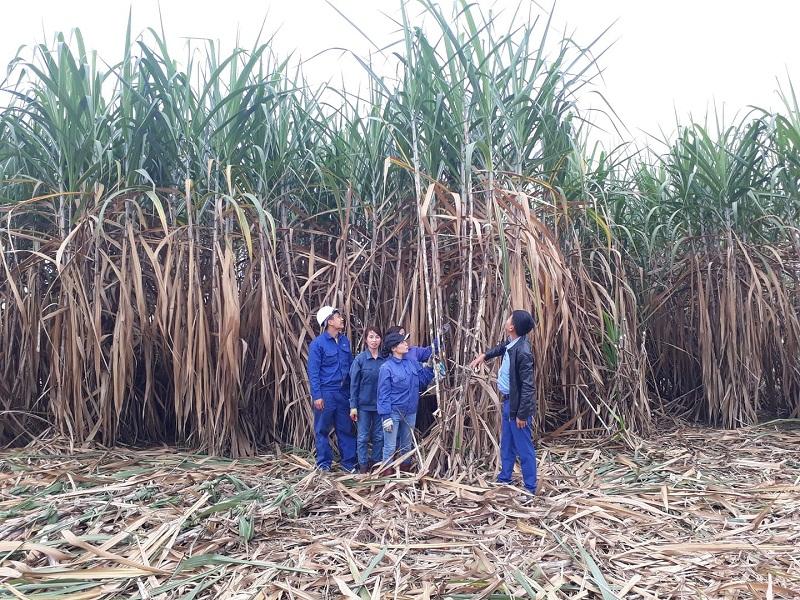 Cần thực thi đồng bộ nhiều giải pháp để ngành mía đường trong nước phát triển.