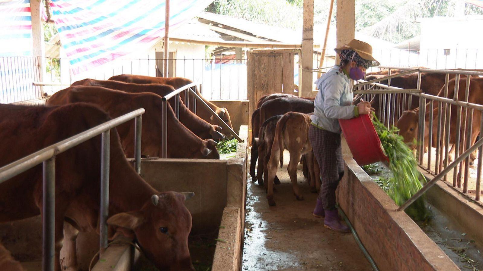 Mô hình nuôi bò sinh sản của gia đình chị Trần Thị Toan đang được nhiều nông dân học tập