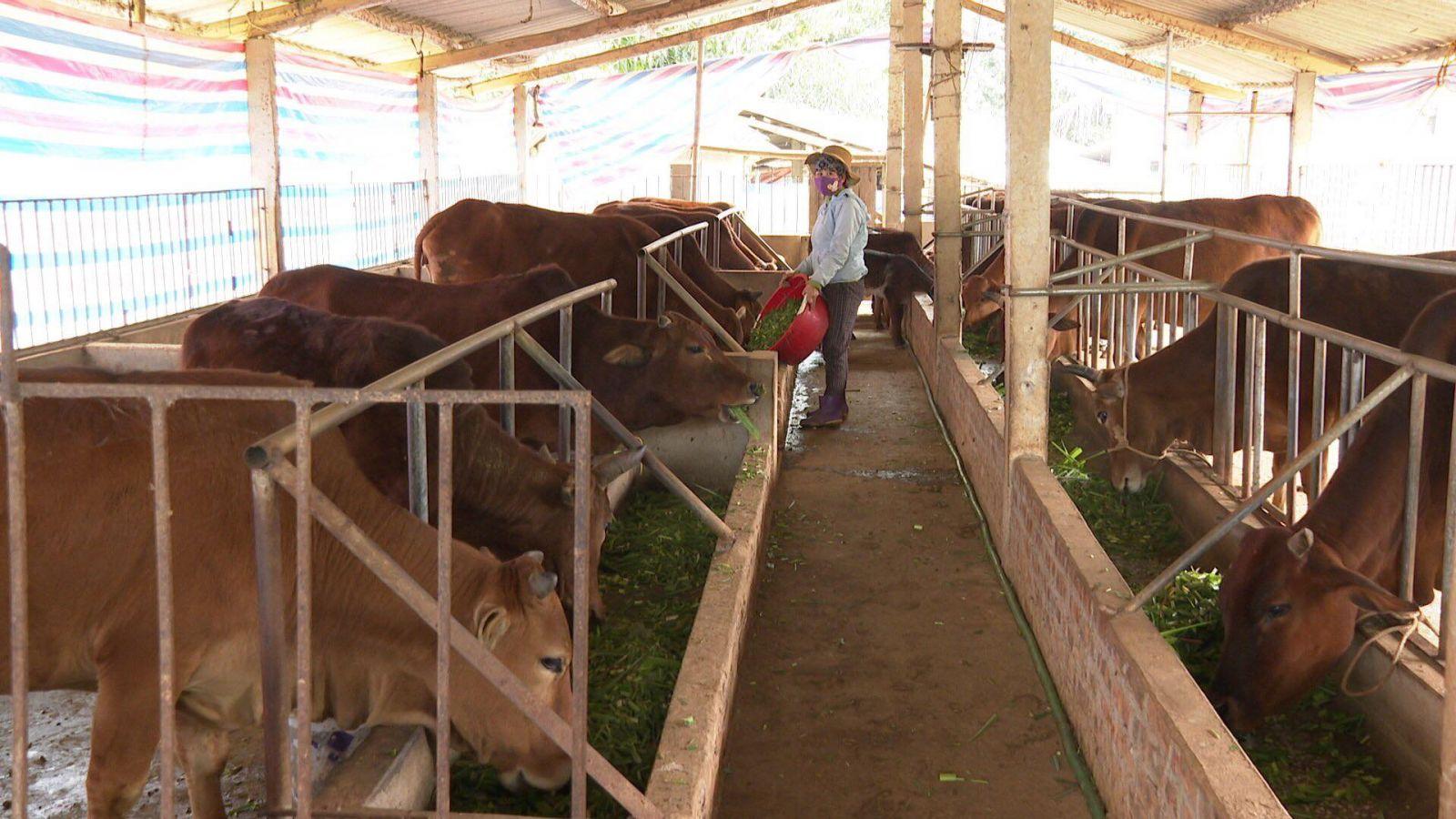 Xã Mỹ Thuận, huyện Tân Sơn (Phú Thọ) đang nhân rộng mô hình nuôi bò sinh sản có hiệu quả này