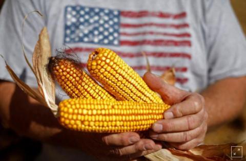 Giá ngô và đậu nành cao, nông dân Mỹ tranh thủ gieo trồng
