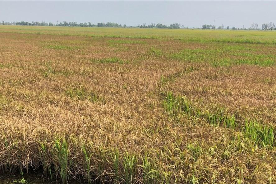 Lúa đông xuân muộn của bà con trên 1 số địa bàn tỉnh Kiên Giang bị thiệt hại do hạn, mặn