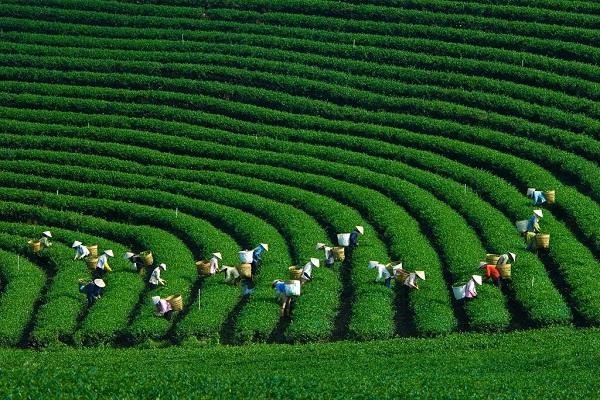 Chè xanh Triệu Sơn một sản phẩm của viện nông nghiệp trong tương lai (Ảnh minh họa)