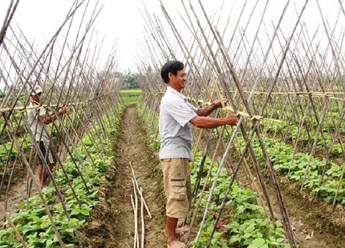Nông dân xã Hoằng Giang (Hoằng Hóa) chăm sóc rau màu trên vùng chuyên canh.