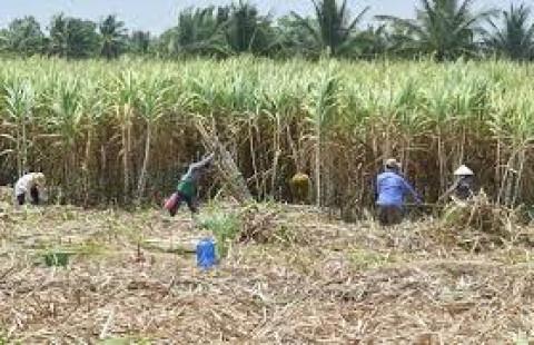 Ngành mía đường và người trồng mía ''thảm hại'' trên sân nhà - Vì đâu nên nỗi ?