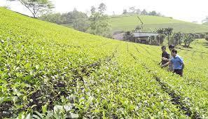 Hiệu quả kinh tế từ các đồi chè mang lại qua chương trình xây dựng Nông thôn mới của huyện Thanh Ba (Phú Thọ)