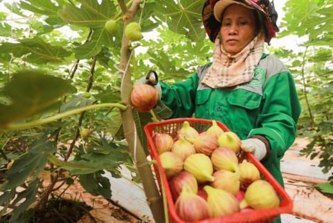 Đồng Nai: Phát triển mạnh diện tích vườn cây ăn trái