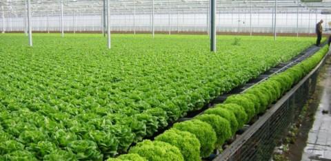 Huyện Đông Anh: Phát triển vùng sản xuất nông nghiệp hàng hóa chất lượng cao