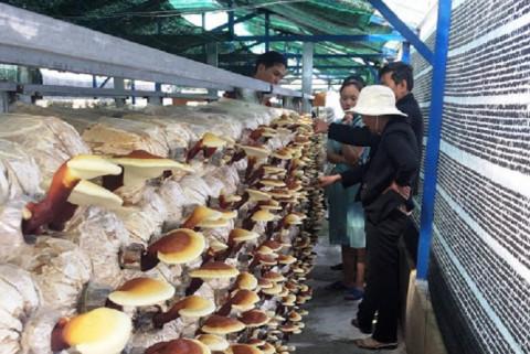Lâm Đồng sản xuất nấm linh chi theo hướng công nghệ cao