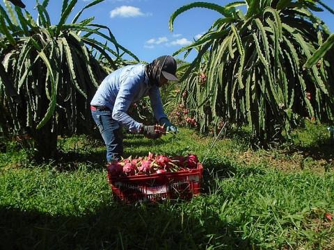 Bình Thuận: Khởi động dự án sản xuất thanh long theo tiêu chuẩn VietGAP