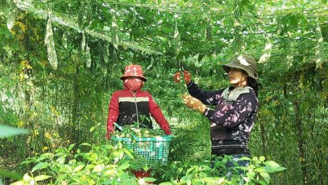 Huyện Tuyên Hóa (Quảng Bình): Mô hình trồng mướp đắng cho thu nhập cao