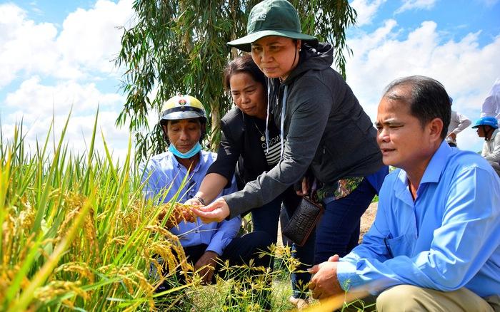 Kiên Giang: Liên kết sản xuất lúa Nhật ĐS 1