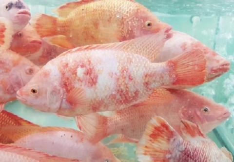 Chiếu sáng chuyên dụng làm tăng tỷ lệ tăng trưởng của cá rô phi lên 10%