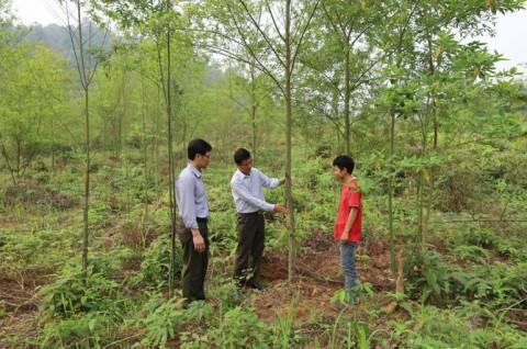 Lào Cai: Nghiên cứu xây dựng mô hình trồng rừng và chiết xuất tinh dầu cây màng tang
