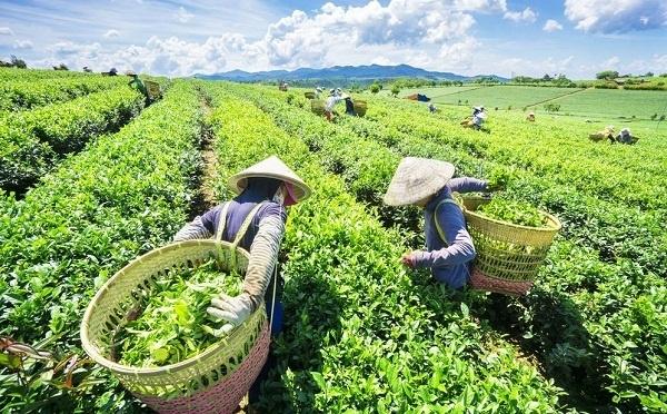 Thị trường Australia rộng mở với doanh nghiệp chè Việt Nam