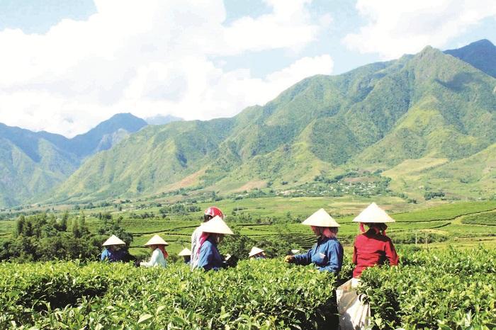 Lai Châu triển khai chính sách hỗ trợ các tổ nhóm, doanh nghiệp phát triển nông, lâm nghiệp. Ảnh: Internet