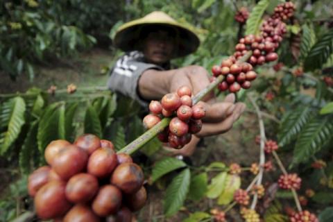 Giải mã đợt tăng giá bất thường của thị trường cà phê