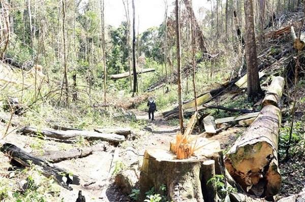 Hiện trường vụ phá rừng bạch tùng cổ thụ tại lô b2, khoảnh 2, tiểu khu 249, xã Đạ Đờn, huyện Lâm Hà
