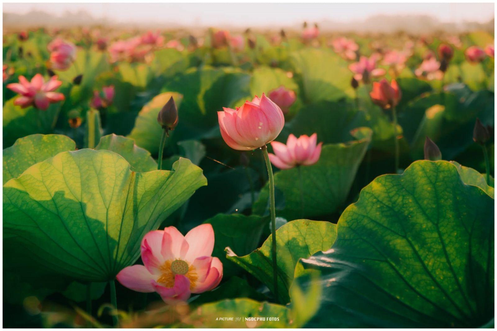 Xứ Huế thay 'màu áo mới', đắm chìm trong hương thơm và sắc màu rực rỡ của mùa sen