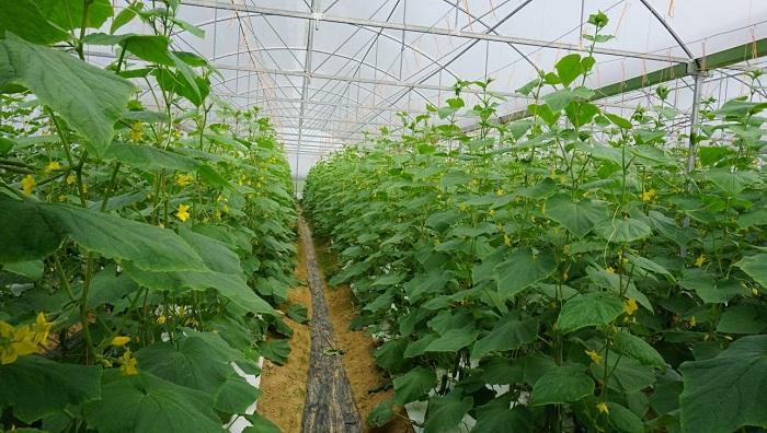 Nghiên cứu của nhóm tác giả đã tạo ra được giống dưa leo đơn tính cái mới, giúp đa dạng giống cây trồng trong hệ thống nhà màng của khu vực TPHCM. Ảnh: Internet