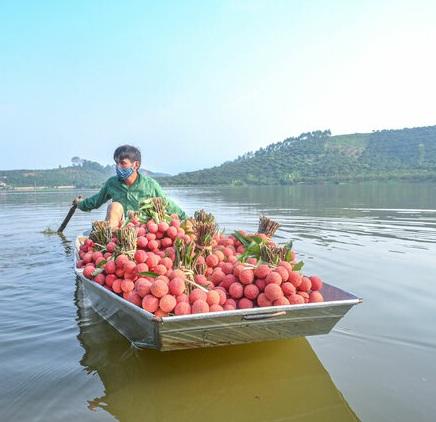 Người dân Lục Ngạn dùng thuyền vận chuyển vải thiều chín sớm