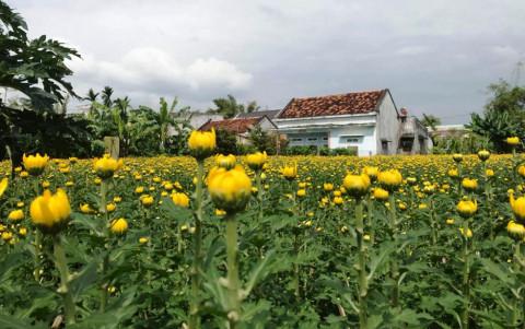 Làng hoa Bình Lâm (Bình Định): Thu nhập tăng cao nhờ hoa và cây cảnh