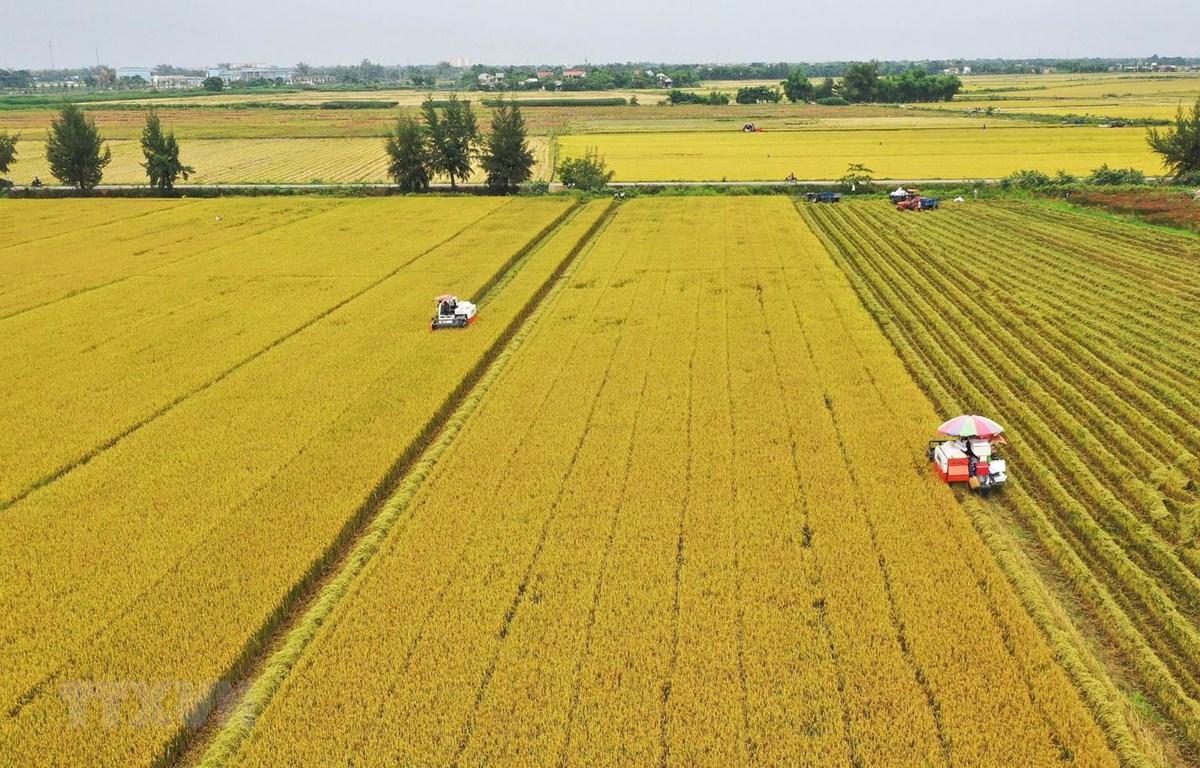Cánh đồng lớn là cánh đồng lúa được nông dân trồng một loại giống lúa được doanh nghiệp cung cấp giống, hướng dẫn kỹ thuật canh tác (Ảnh: Hồ Cầu)
