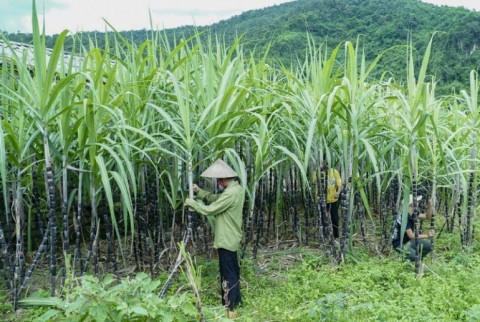 Áp dụng biện pháp chống bán phá giá và chống trợ cấp chính thức đối với một số sản phẩm đường mía có xuất xứ Thái Lan