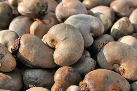Bộ Công Thương đề xuất mở rộng diện tích trồng khi nhập khẩu điều thô từ Campuchia tăng 550%