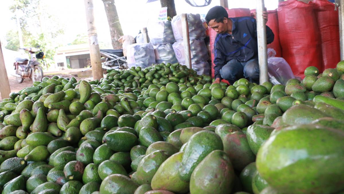 Nông sản ở Tây Nguyên rớt giá 'thảm hại'