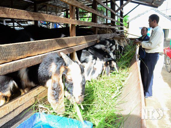 CCB huyện Ninh Phước vay vốn NHCSXH để nuôi dê