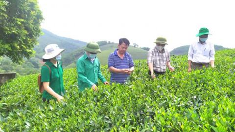 Xã Văn Luông, Tân Sơn (Phú Thọ): Ứng dụng kỹ thuật mới vào sản xuất chè xanh