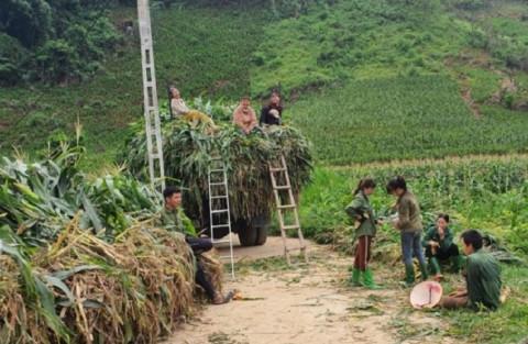 Tuyên Quang: Hiệu quả mô hình liên kết trồng ngô sinh khối