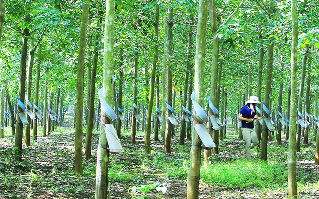 Cao su Đồng Phú - Đắk Nông báo lợi nhuận âm do kinh doanh dưới giá vốn